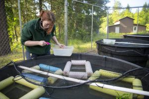 keeper examines frog net pens