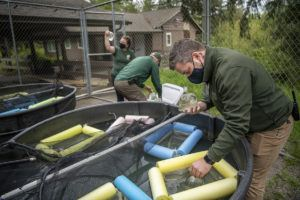 keepers put leopard frogs in tanks