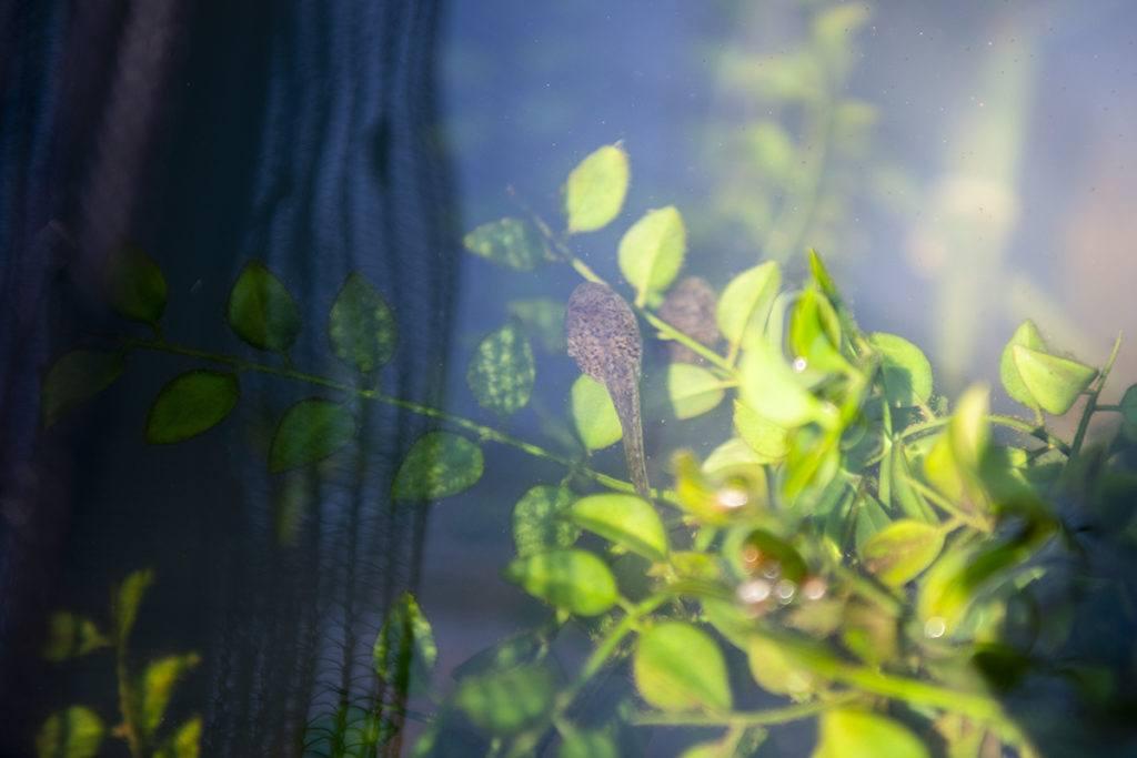 leopard tadpole leaves sunny water