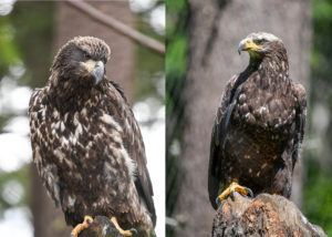 sequoia eagle before and after