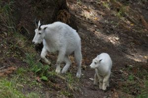 Nettle and Bailey, mountain goats.