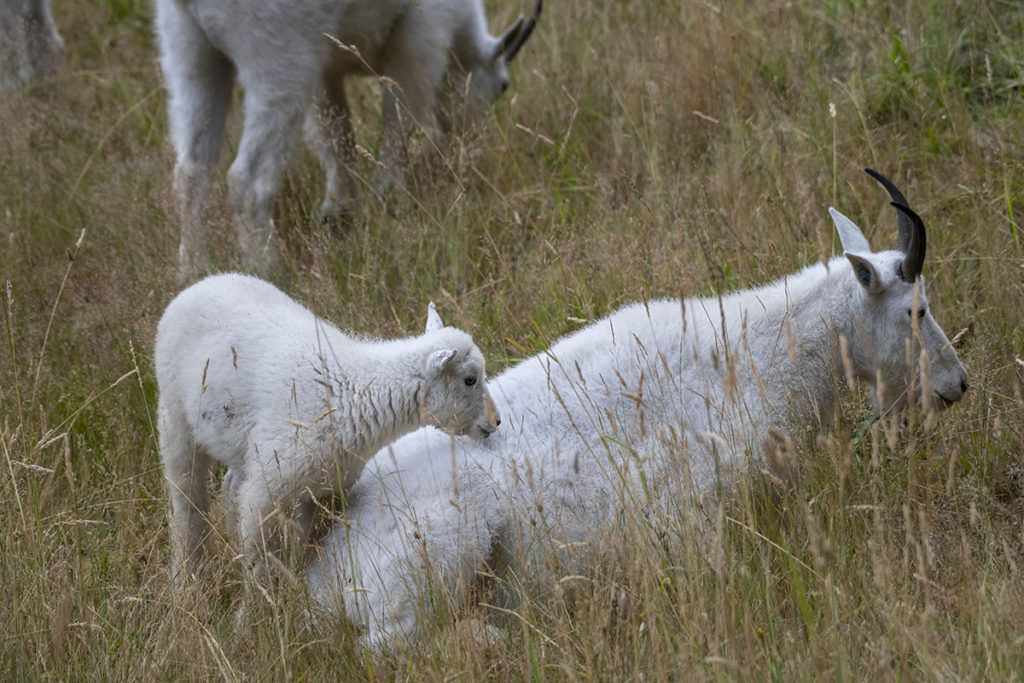 mountain goat kid and mom in pale grass