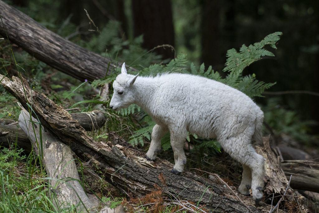 Nettle the mountain goat kid.