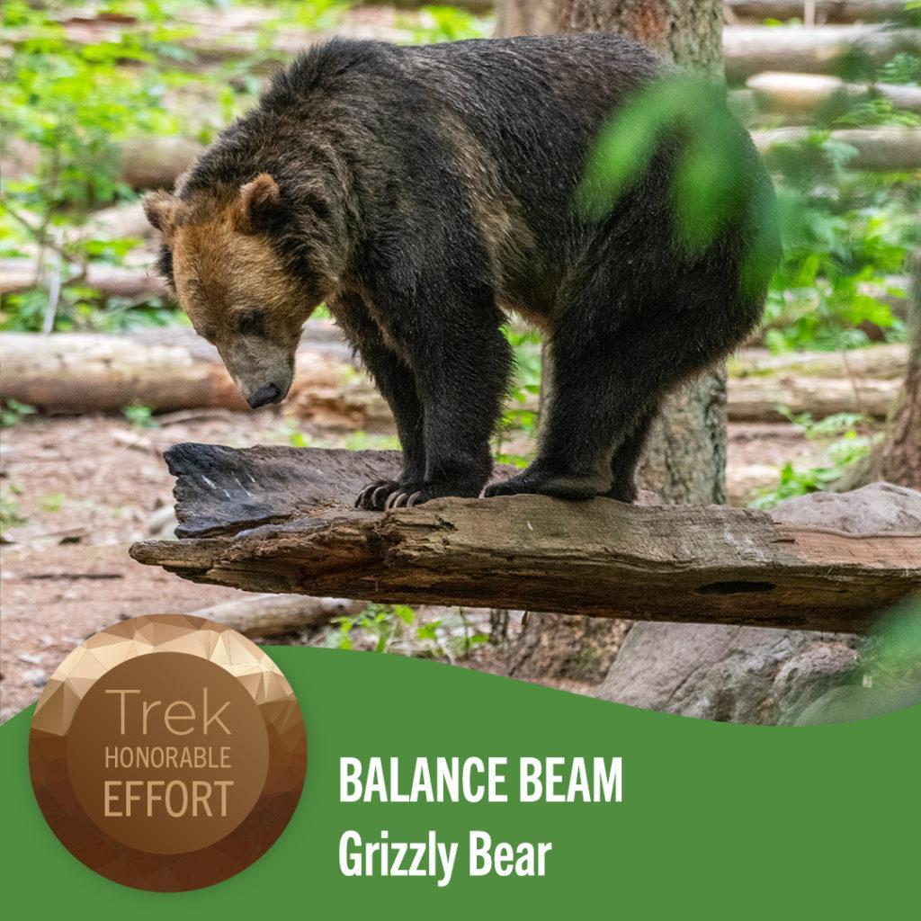 balance beam grizzly bear