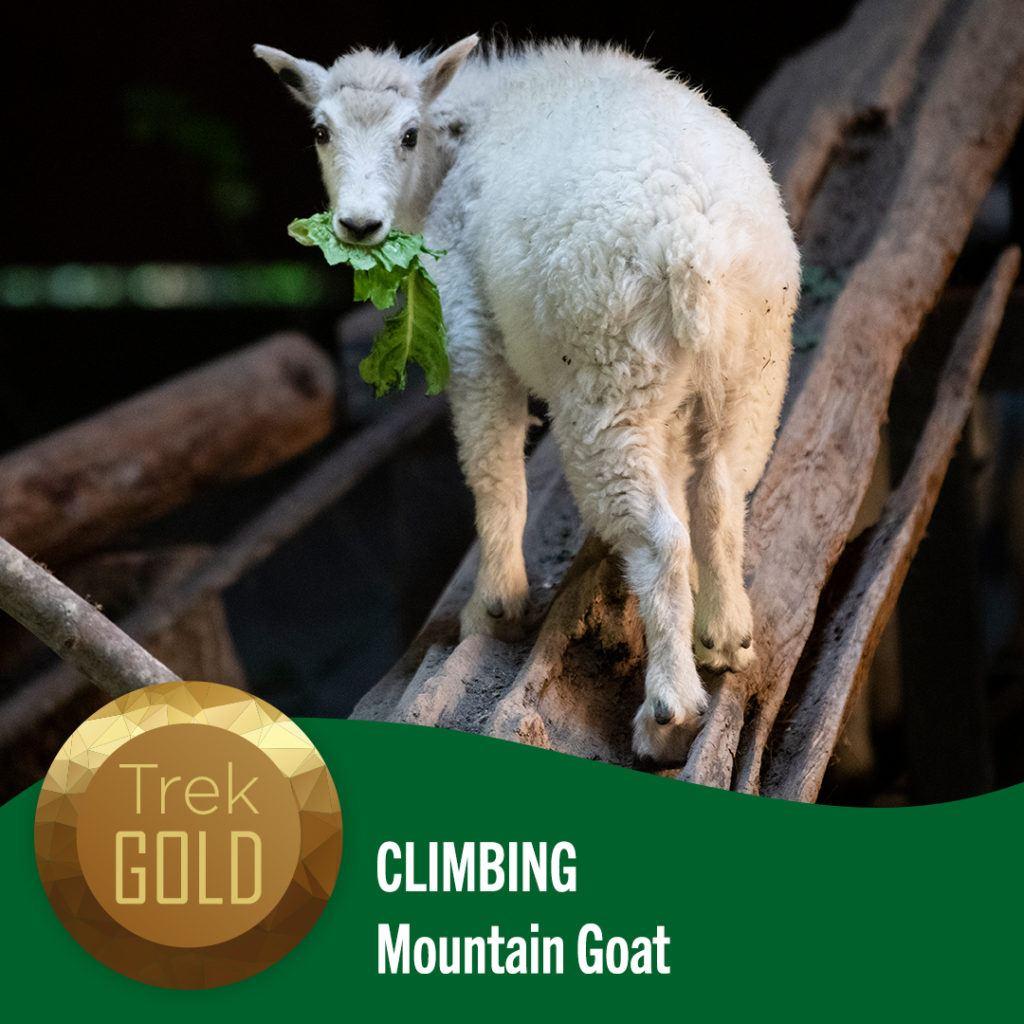 climbing mountain goat