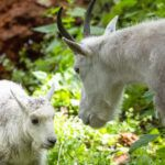 mountain goat and kid tree
