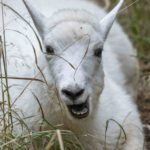 mountain goat kid face