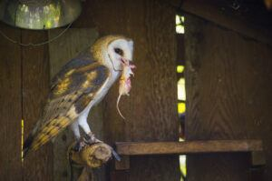 barn owl and mouse