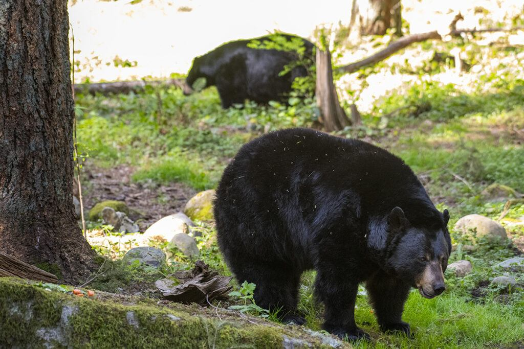 two black bears in grass