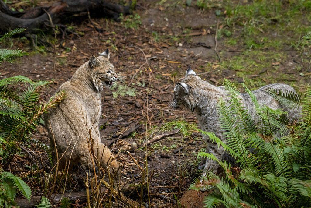 two bobcats chasing