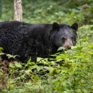 black bear fern in ferns