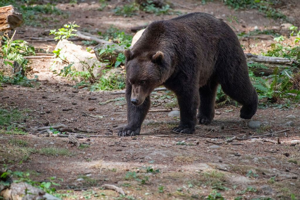 Hawthorne the grizzly bear walking