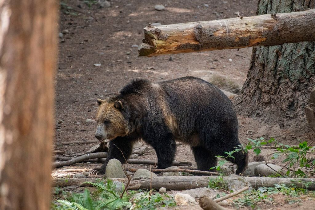 Huckleberry the grizzly bear walking through his habitat
